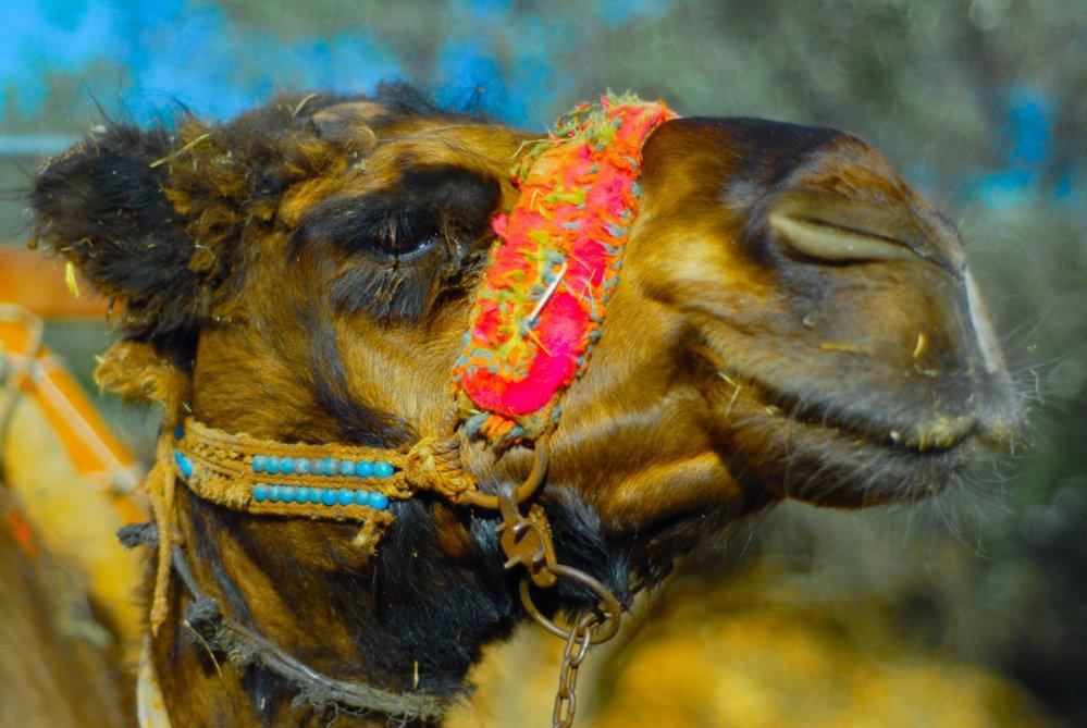 flamboyant_camel
